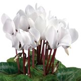 Soft White Cyclamens Closeup Isolated Royalty Free Stock Images