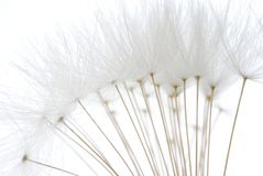 Soft white dandelion seeds Stock Photography