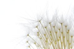 Soft white dandelion seeds Stock Photos