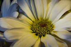 Soft White Dasiy. Soft white daisy and shadows to provide contrast royalty free stock photo