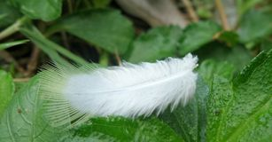 Soft white feather softly blow in the wind  and land on green leaves. Soft white feather softly blow and land on green leaves Stock Photo