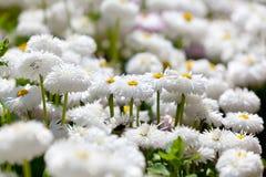 Soft white flower Royalty Free Stock Photos