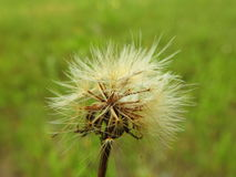 Soft white fluff in meadow Royalty Free Stock Images