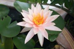Soft white lotus Royalty Free Stock Photo