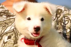 Soft white puppy dog Royalty Free Stock Photography
