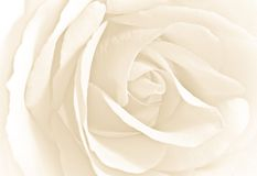 Soft white rose in close view. High key image Stock Photography