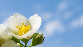 Soft white spring flower close up royalty free stock images