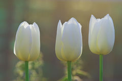 Soft white tulips. On the summer background Royalty Free Stock Images
