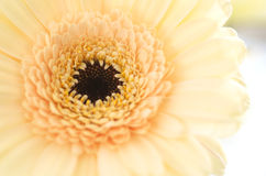 Soft Yellow Chrysanthemum. Close up of Soft Cream Color Chrysanthemum Royalty Free Stock Images