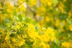 Soft Yellow Currant Blossoms Ribes nigrum. Currant Bush In Spring Stock Images