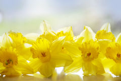 Soft yellow daffodils in back light Stock Photography