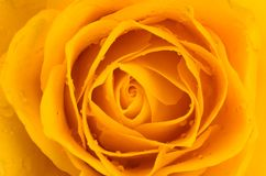 Soft Yellow Rose Stock Photography