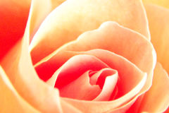 Soft Yellow Rose. Intense color shift on a close up image of a soft and creamy yellow rose stock photos