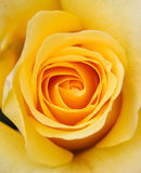 Soft Yellow Rose. Wonderful soft yellow colored rose with depth too Royalty Free Stock Photo