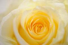 Soft yellow rose Royalty Free Stock Image