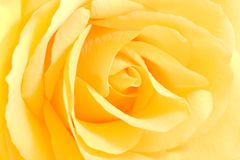 Soft yellow rose in close view Stock Photo