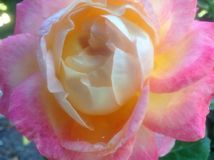 Soft Yellow Rose with Pink Petals Stock Photography