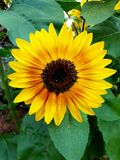 Bright yellow sunflower photographed in Bloemfontein, South Africa