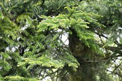 Soft young needles appear on spruce in spring. Season specific stock images