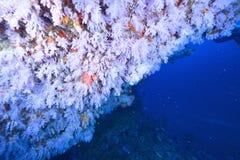 Softcoral και ψάρια Στοκ Φωτογραφίες