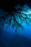 Softcoral royalty free stock photos