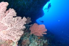 Softcoral and diver Royalty Free Stock Photo