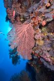 Softcoral and diver Stock Photos
