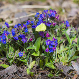 The softest lungwort ( Pulmonaria mollis ) Stock Photography