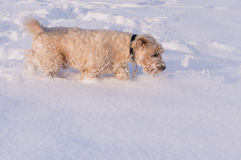Softis playing in snow royalty free stock photos