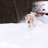 Softis playing in snow stock photo