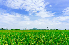 Softlight from sunshine landscape view of Toddy palm and rice-fi Stock Image