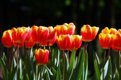 Softly colored red-yellow tulips Stock Image