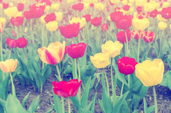 Softly Colored Tulips. Tulips in haze on field Royalty Free Stock Photo