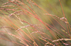Softly focused red grass bending towards the left. Softly focused red grass going to seed leaned over to the left Stock Image
