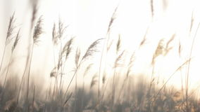 Softly Trembling Plume Reeds in Bright Twilight Sun Light stock video