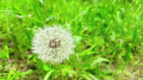 Softly white flower dandelion on the green grass background, concept of spring is coming, slow motion. Movement stock video