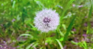 Softly white flower dandelion on the green grass background, concept of spring is coming, slow motion. Movement stock footage