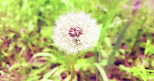 Softly white flower dandelion on the green grass background, concept of spring is coming, softly movement. On wind stock video footage