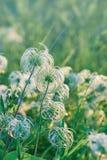 Softness flowers - fluffy flowers Royalty Free Stock Photos