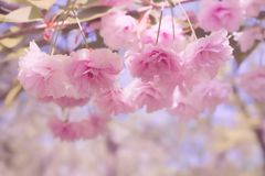 Softness pink flowers of Japanese sakura and branches with leaves on a blurred pink and purple background. stock photography