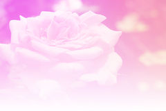 Softness rose pastel color background Stock Photos