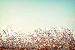 Softness white feather grass with retro blue sky space Stock Photography