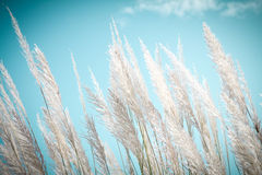 Softness white Feather Grass  with retro sky blue background and space. Softness white Feather Grass  with retro sky blue background Stock Photo