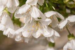 Softnessgrupp av öppna körsbärsröda blomningar arkivfoto