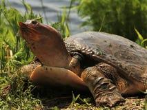 Softshell żółw Zdjęcia Stock