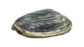 Softshell Clam Stock Photo