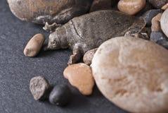 Softshell sköldpadda Fotografering för Bildbyråer
