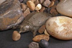 Softshell sköldpadda royaltyfria bilder