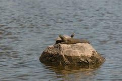 Softshell sköldpadda och röd-gå i ax värma sig för glidare Arkivfoton