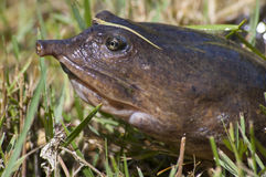 Softshell Turtle. The Florida softshell turtle (Apalone ferox). Closeup of head showing pig nosed snout Stock Image